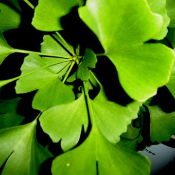 367-ginkgo-leaves