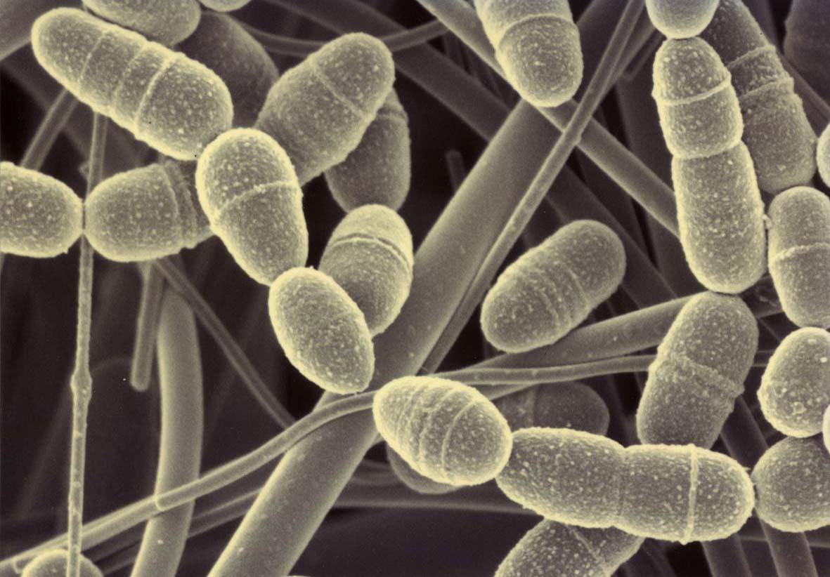 Streptococcus mutans6500
