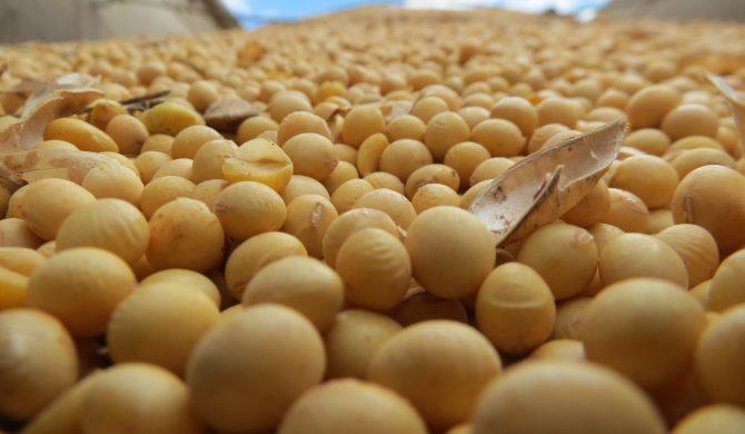 Le donne che soffrono di tiroidite autoimmune di Hashimoto possono consumare soia?